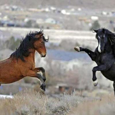 cavalli che giocano