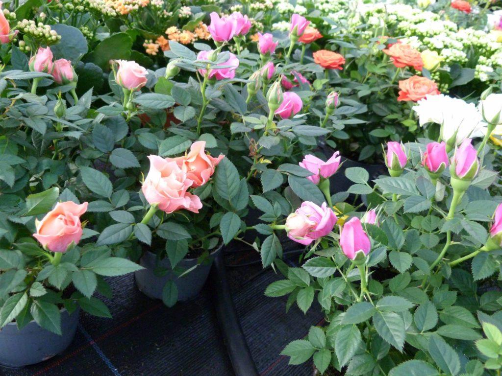 rose da Pierina sassari