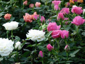 rose sbocciate